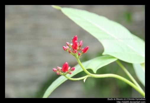 buds-in-bloom.jpg